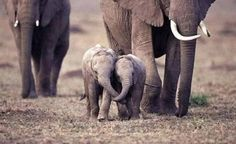 Two baby elephants hold each other's trunks as they run with the herd.