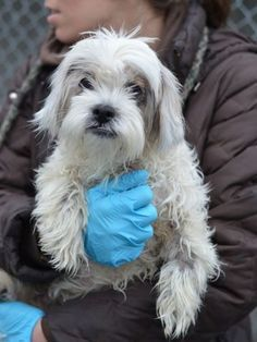 SUPER URGENT 03/29/15 Brooklyn Center MISSY – A1031655 FEMALE, WHITE, LHASA APSO MIX, 10 yrs. STRAY – STRAY WAIT, NO HOLD Reason OWNER DIED. Intake condition GERIATRIC Intake Date 03/29/2015 http://nycdogs.urgentpodr.org/missy-a1031655/