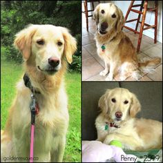 Golden Retrievers looking for their forever families!