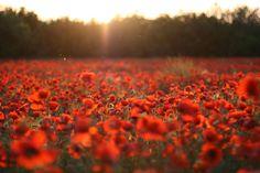 Resultado de imagem para poppy field