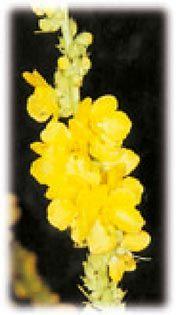 Molyhos ökörfarkkóró (Verbascum thapsus) | TermészetGyógyász Magazin