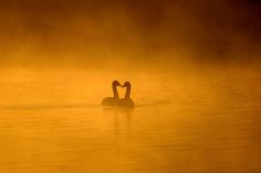 Tundra Swan Pair in Morning Gold Mist by Mubi.A