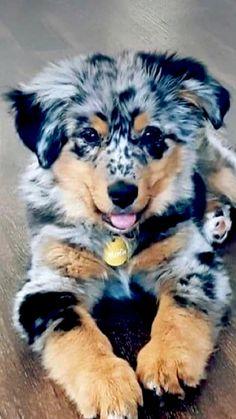 Cute Baby Dogs, Cute Little Puppies, Cute Baby Animals, Cute Dogs And Puppies, Fluffy Animals, Doggies, Cute Babies, Australian Shepherd Puppies, Aussie Puppies