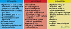 Image result for endoderm ectoderm mesoderm germ layers