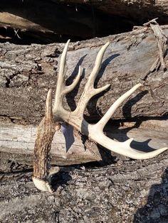Bull Moose, Moose Art, Shed Antlers, Sheds, Horn, Skulls, Deer, Shed Houses, Shed