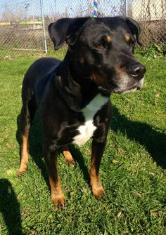 Kennel # 02 Rottweiler Mix • Young • Male • Large Lorain County Dog Kennel Elyria, OH
