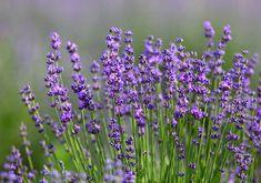 Lavendel: Alles zu Sorten, Anbau & Pflege - Plantura