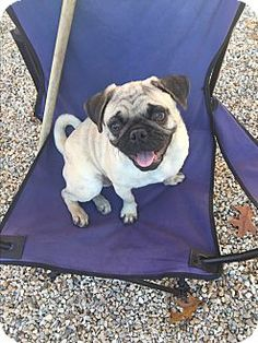 Middlebury, CT - Pug Mix. Meet Frankie, a puppy for adoption. http://www.adoptapet.com/pet/17107630-middlebury-connecticut-pug-mix