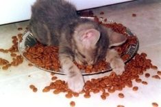 dude. cat-version of me when I was little. I always fell asleep in my food!