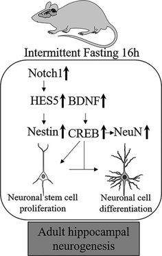 [ARTICLE] Intermittent fasting increases adult hippocampal neurogenesis - Full Text Long Term Potentiation, Neuroplasticity, Transcription, Brain Injury, Neurons, Differentiation, Stem Cells, Intermittent Fasting, Physical Activities