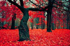 Crimson Forest, Poland - by Repinly.com  #trees #nature #fall #autumn #forest #leaves