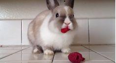 【キュン死動画】ラズベリーを頬張る うさぎ が口紅をつけたみたいで可愛いと全世界が悶絶中!! 再生回数600万回超えの大ヒット