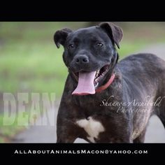 Meet Dean. No really, schedule a meet and greet to meet him in person. I don't think anyone has ever inquired about him. He is full of energy and has lots of love to share. Email allaboutanimalsmacon@yahoo.com to set up an appointment.