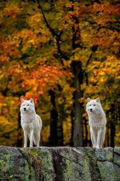 Two Gorgeous White Wolf Autumn Forest Sentries. Wolf Photos, Wolf Pictures, Animal Pictures, Beautiful Creatures, Animals Beautiful, Cute Animals, Wolf Spirit, Spirit Animal, Wolf Hybrid