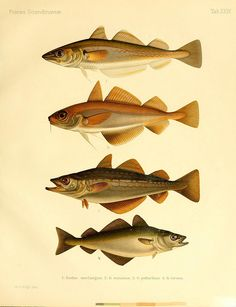 A history of Scandinavian fishes /. Stockholm :P.A. Norstedt & söner,1892-1895