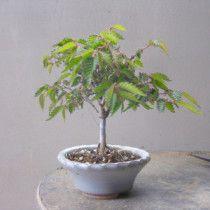 盆栽:長寿梅石付け |春嘉の盆栽工房