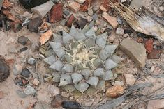 Ariocarpus x pectinatus | NEW AZTEKIA