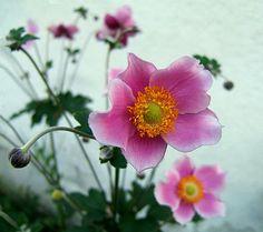 Anemone - Windröschen – Wikipedia