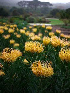 Kirstenbosch gardens yellow pin Protea flowers Speldekussings