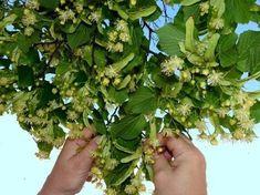 Nasbírejte si v červnu lipový květ. Působí jako lahodné sedativum a ještě po něm omládnete   Náš REGION Korn, Parsley, Celery, Life Is Good, Detox, Food And Drink, Health Fitness, Homemade, Vegetables