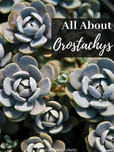 Orostachys are are elegant, rosette-forming succulents that thrive in cold winter climates. They look somewhat like Sempoervivum and are just as easy to grow. Perfect for rock gardens, ground covers or containers, these Chinese dunce caps belong in your garden! Learn all about growing Orostachys!  #succulents #coldhardysucculents #winterhardysucculents #chineseduncecap Baby Succulents, Planting Succulents, Cold Climate Gardening, Mother Plant, Succulent Care, Hens And Chicks, Succulent Arrangements, Little Plants, Garden Spaces