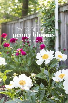 Peonies care: how to get the most blooms, what to do about peonies and ants, & three no-fail, colorful planting suggestions. Wilted Flowers, Fresh Flowers, Outdoor Garden Rooms, Outdoor Living, Beautiful Gardens, Beautiful Flowers, Peony Care, Peony Bush, Peonies Season