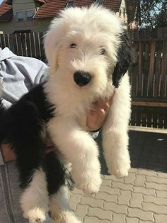 Sheep Dog Puppy, Dog Cat, Sheep Dogs, Chien Bobtail, Beautiful Dogs, Animals Beautiful, Beautiful Pictures, Cute Puppies, Cute Dogs