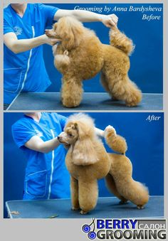 Dog Grooming Styles, Dog Grooming Salons, Poodle Grooming, Pet Grooming, Dog House Air Conditioner, Dog Training Equipment, Poodle Cuts, Dog Haircuts, Puppy Drawing
