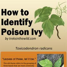 How to identify poison ivy - thumbnail image - outdoor learning resource . and you would think they would have more warnings for flowers people purposefully put in their gardens that kill people instead of just making them itch. Outdoor Landscaping, Outdoor Gardens, Toxicodendron Radicans, Identify Poison Ivy, Organic Gardening, Gardening Tips, Outdoor Learning, Nature Study, Health Advice