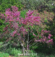 Monrovia's Claremont Western Redbud details and information. Learn more about Monrovia plants and best practices for best possible plant performance.