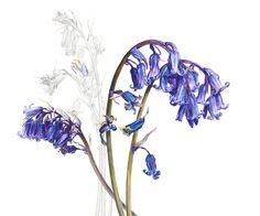 botanical paintings blue bells - Rosie Sanders