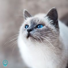 Now you can master the art of cat whispering! Kittens Cutest, Cute Cats, Cat With Blue Eyes, Cat Drinking, Siamese Cats, Ragdoll Cats, Grumpy Cat, Animal Quotes, Cat Breeds