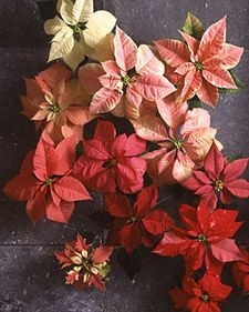 Crepe Paper Pointsettias  These handcrafted blooms are ideal for embellishing wrapped gifts or fastening to a tree.