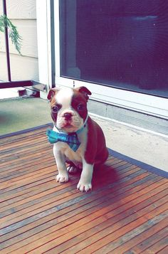 Waffles the dapper pup! | Boston Terrier Friendzy
