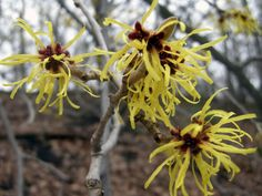 Yellow witchhazel