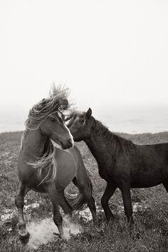 Wild horses playing