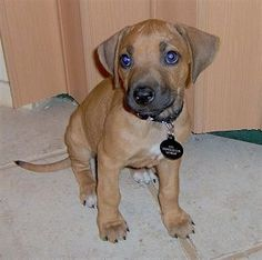 Front view - A small brown with white Rhodesian Ridgeback puppy is sitting on a tan tiled floor and it is looking up and to the left.