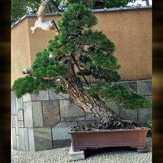 小林国雄 Kunio Kobayashi's masterpiece Pinus thunbergii 黒松 Japanese Black Pine #黒松…