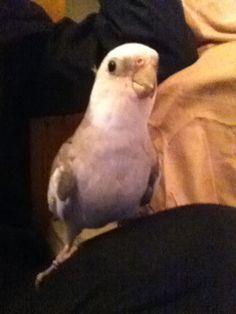 Papagaio falante online dating