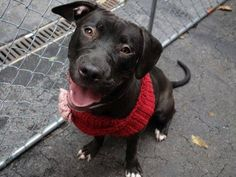 TO BE DESTROYED - MON 12/1/14 Manhattan Ctr DIVA A1021402 FEMALE, BLK/WHT STAFF MIX, 8 mos STRAY 11/22/2014****LOVED & ADORED BY ALL****A Volunteer Wrote: Lots of charming puppy energy that she can't quite contain ~ Dog friendly ~ Appears to be housetrained ~ Very sweet ~ Walks well on leash ~ Playful~ Deserves a 2nd chance at a loving home!