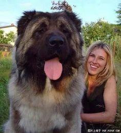 "animeasuka: "" taiomifox: "" This is a 5 month old Tibetan Mastiff. This is a 5 month old Tibetan Mastiff. This is a 5 month old Tibetan Mastiff. This is a 5 month old Tibetan Mastiff. Huge Dogs, Giant Dogs, Dogue Du Tibet, Le Plus Grand Chien, Tibetan Mastiff Dog, Mastiff Dog Breeds, Puppy Breeds, Love My Dog, Giant Animals"