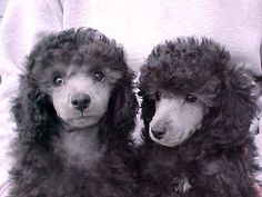 Silver Poodle Puppies they will become silver is your Poodle silver???