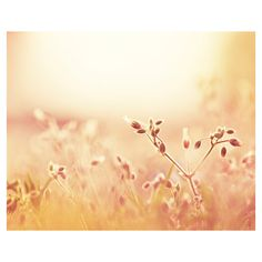 Fine Art Photography - peach cream gold yellow - nature photography -... ($30) ❤ liked on Polyvore
