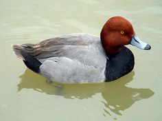 redhead duck - Bing Images