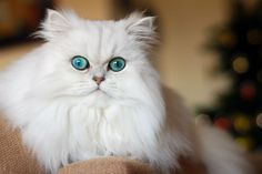 A dog is a dog but a cat is only Persian...