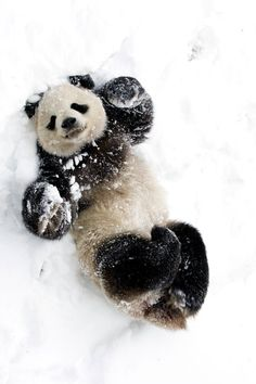 This is a panda attempting to make a snow angel! Go PANDA! Animals And Pets, Baby Animals, Funny Animals, Cute Animals, Wild Animals, Funny Dogs, Animals In Snow, Nature Animals, Cute Creatures