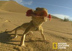 Reptiles And Amphibians, Mammals, Chameleon Lizard, National Geographic Channel, Toad, Animal Kingdom, Pet Care, Cute Animals, Crazy Animals