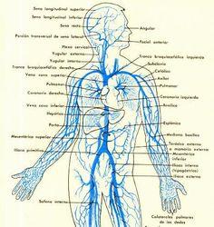 Sistema venoso tronco y brazos.