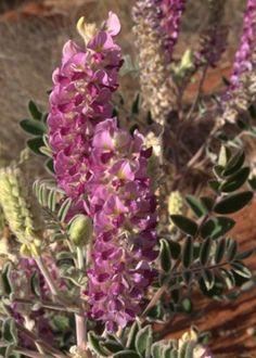 Australian Desert Plants - Fabaceae Great looking desert plants