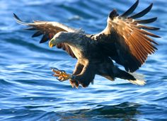 Havørnen blir mellom 87 og 100 cm lang. Voksne hunner kan ha et vingespenn på opptil 240 cm – hannene er noe mindre. Havørnen kan bli opptil 50 år gammel, men det er sjeldent.  White-tailed eagles are between 87 and 100 cm long. Adult females can have a wingspan of up to 240 cm - the males are slightly smaller. White-tailed eagle can be up to 50 years old, but it is rare.